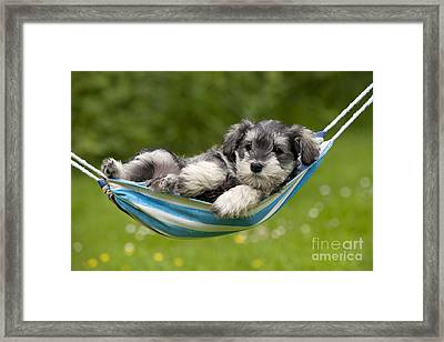 Schnauzer Puppy Dog Framed Print by John Daniels