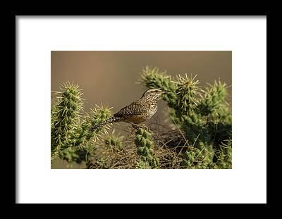 Cactus Wren Framed Prints