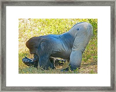 Western Lowland Gorilla Framed Print by Millard H. Sharp