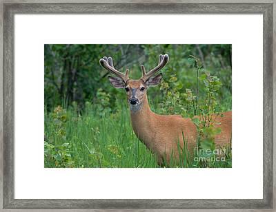 White-tailed Buck Framed Print