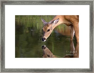 White-tailed Doe Framed Print by Linda Freshwaters Arndt