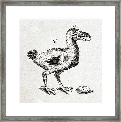 1657 Pre Extinction Image Of Skinny Dodo Framed Print