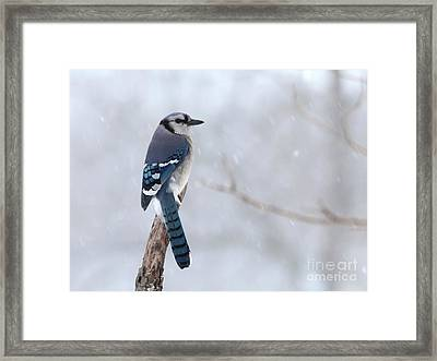 Blue Jay Framed Print by Jack R Brock