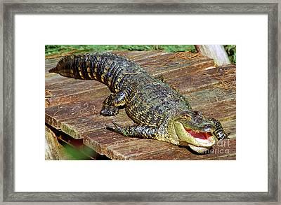American Alligator Framed Print by Millard H. Sharp