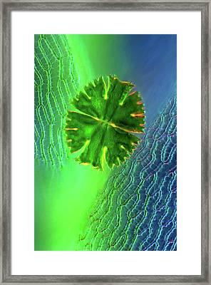 Desmid On Sphagnum Moss Framed Print