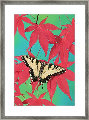 Eastern Tiger Swallowtail Papilio Framed Print