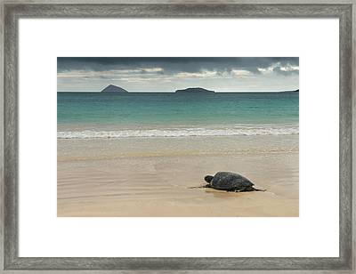 Galapagos Green Sea Turtle (chelonia Framed Print