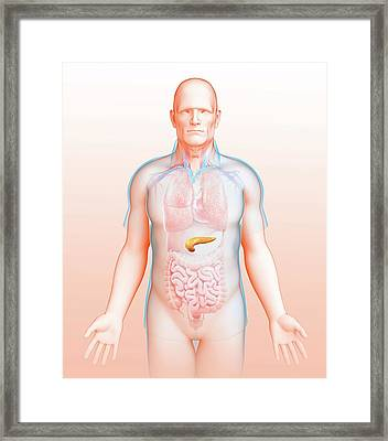 Male Pancreas Framed Print by Pixologicstudio/science Photo Library