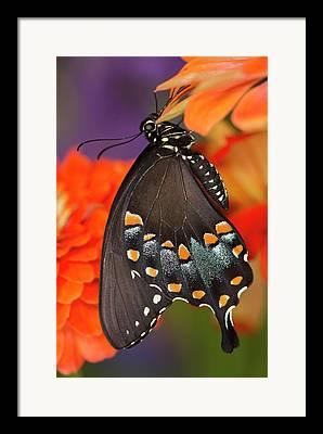 Spicebush Swallowtail Framed Prints