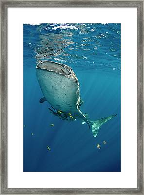 Whale Shark, Cenderawasih Bay, West Framed Print by Pete Oxford