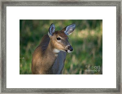 White-tailed Fawn Framed Print by Linda Freshwaters Arndt