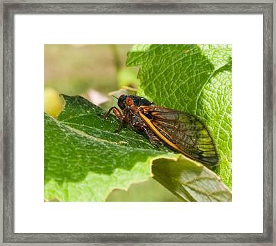 17 Year Cicada 2 Framed Print by Lara Ellis
