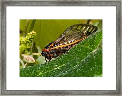 17 Year Cicada 3 Framed Print by Lara Ellis