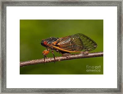 17-year Periodical Cicada I Framed Print by Clarence Holmes