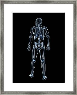 Male Skeleton Framed Print by Sciepro/science Photo Library