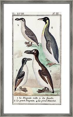 1787 Great Auk And Penguin Illustration Framed Print
