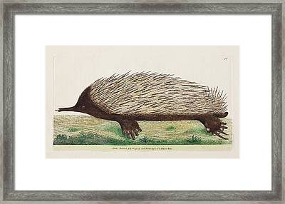 1792 Shaw First Illustration Of Echidna Framed Print by Paul D Stewart