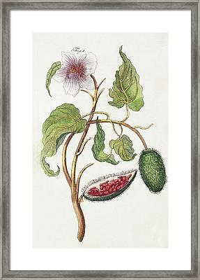 1795 Achiote Bixa Orellana Illustration Framed Print by Paul D Stewart