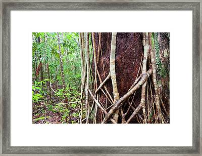 Daintree Rainforest Framed Print by Ashley Cooper