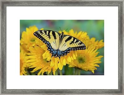 Eastern Tiger Swallowtail Butterfly Framed Print by Darrell Gulin