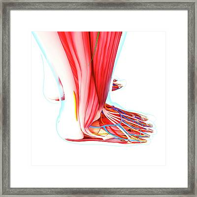 Human Foot Anatomy Framed Print by Pixologicstudio/science Photo Library