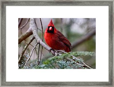 Northern Cardinal Male Framed Print by Dan Ferrin