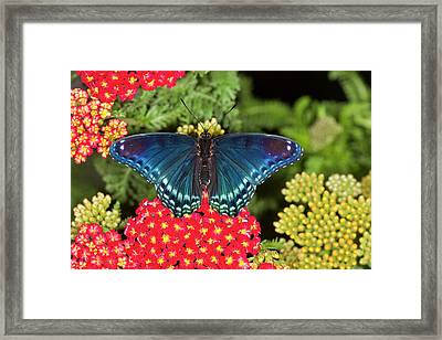 Red Spotted Purple Butterfly, Limenitis Framed Print by Darrell Gulin