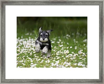 Schnauzer Puppy Dog Framed Print by John Daniels