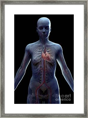 The Cardiovascular System Female Framed Print by Science Picture Co