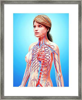 Female Cardiovascular System Framed Print by Pixologicstudio/science Photo Library