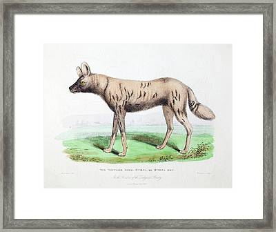 1830 First African Hunting Dog London Zoo Framed Print by Paul D Stewart