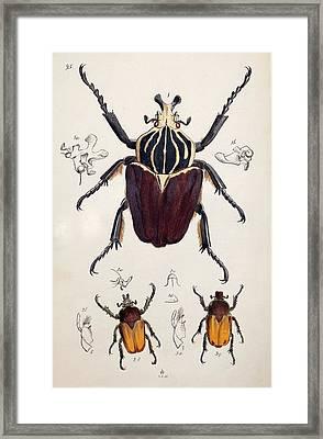 1845 Westwood Goliath Beetle Painting Framed Print