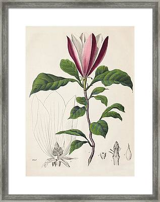 1847 Magnolia Primitive Flower Bracts Framed Print by Paul D Stewart