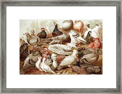 1870 Domestic Fancy Pigeon Breeds Darwin Framed Print by Paul D Stewart