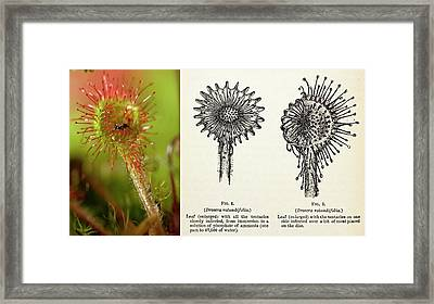 1875 Darwin Insectivorous Plant Drosera Framed Print by Paul D Stewart