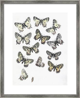 1875 European Festoon Butterfly Zerynthia Framed Print