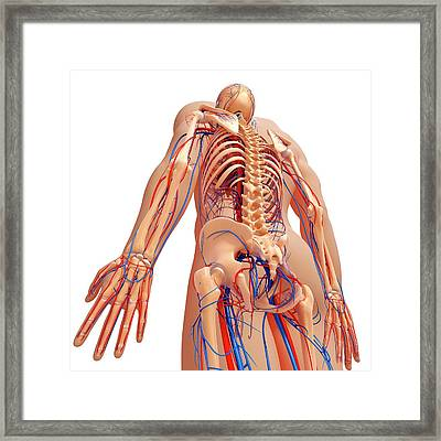 Human Anatomy Framed Print by Pixologicstudio/science Photo Library