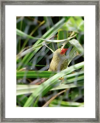 Red Face Bird Framed Print by Girish J