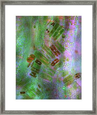 Diatoms Framed Print by Marek Mis