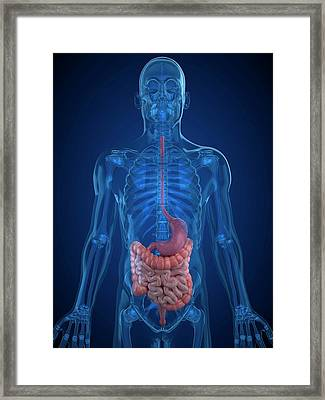 Healthy Digestive System Framed Print by Sciepro/science Photo Library