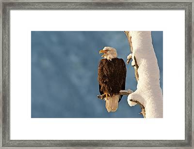 Usa, Alaska, Chilkat Bald Eagle Preserve Framed Print by Jaynes Gallery