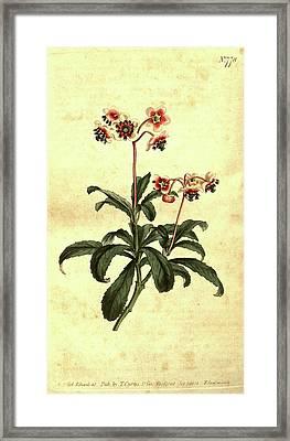 Botanical Print By Sydenham Teast Edwards 1768 – 1819 Framed Print by Quint Lox