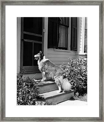 1930s Rough Scotch Collie Dog Standing Framed Print