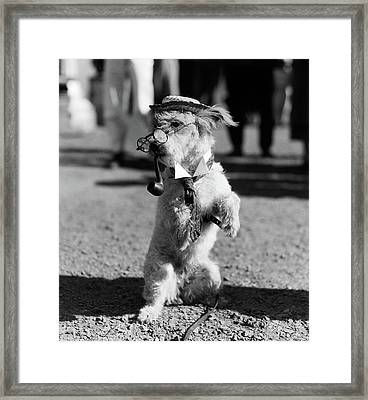 1940s White Terrier Dog On Hind Legs Framed Print