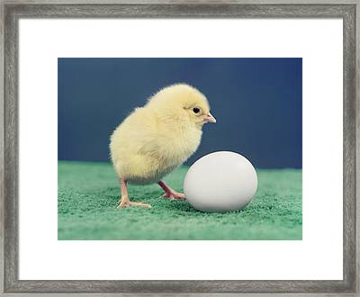 1950s Baby Chick And Egg Framed Print