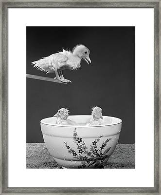 1950s Duckling On Diving Board Looking Framed Print