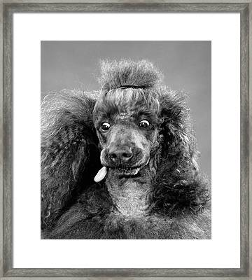 1950s French Poodle Eyes Wide Open Framed Print
