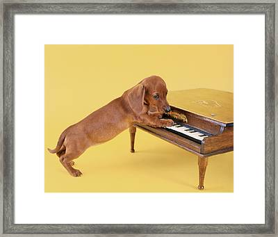 1960s Dachshund Puppy Playing Toy Piano Framed Print