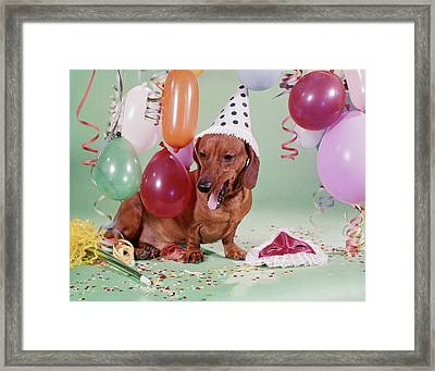 1960s Dachshund Wearing Party Hat Tired Framed Print