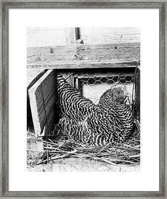 1960s Hen Sitting On Nest In Chicken Framed Print